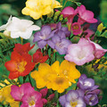 Single Freesias Mixed Colours
