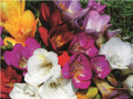 Single Freesias
