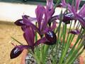 Reticulata Purple Gem (Dwarf Iris)