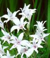 Blushing Bride - Baby Gladiolus