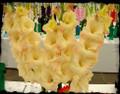 Cream Perfection - Gladiolus