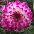 Gambier Jane - Decorative Dahlia