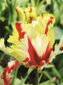 Bulk Tulips - Flaming Parrot