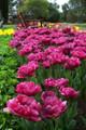 Bulk Tulips - Margarita
