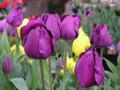 Bulk Tulips - Negrita Triumph Tulip