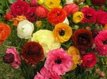 Ranunculi Mixed Colours