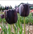 Bulk Tulips - Queen of the Night