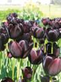 Bulk Tulips - Queen of the Night