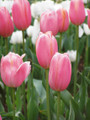 Bulk Tulips - Renoun Single Late Tulip