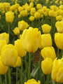 Bulk Tulips - Caratere