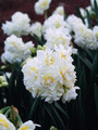 Erlicheer - Multi Headed Daffodil