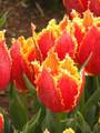 Fabio - Darwin Hybrid Tulip