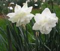 Calgary - Double Daffodils