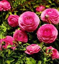 Ranunculi Deep Pink