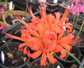 Nerine Collection Special Offer