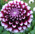Edinburgh - Decorative Dahlia