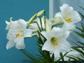 White Heaven - Longiflorum Christmas Lily