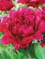 Felix Crousse - Peony Roses