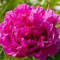 Madam Jos Odier - Peony Roses