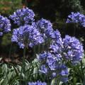 Agapanthus - Blue