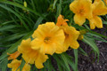 Golden Glory - Miniature Daylily