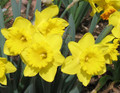 Marieke - Single Daffodil
