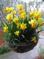 Jetfire - Miniature Daffodil
