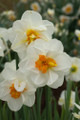 Flower Drift- Double Daffodil