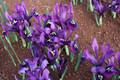 Histriodes George (Dwarf Iris)