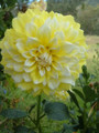 Lemon Snow - Giant Decorative Dahlia