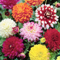 Mixed Decorative Dahlia