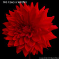 Kenora Wildfire - Giant Decorative Dahlia