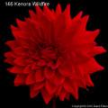 Kenora Wildfire - Giant Decorative Dahlia