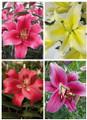 Oriential Trumpet Lilium Mix