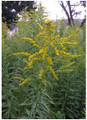 Golden Rod - Solidago