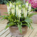 Pineapple Lily - Autumnale (Dwarf White)