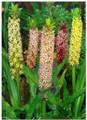 Pineapple Lily - Eucomis Punctata Mixed Colours