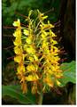 Ginger Lily - Hedychium Gardeneranium (Yellow)