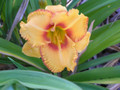 Coorooborie Dancer - Daylily