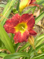 Kyooma Classic Disco - Daylily