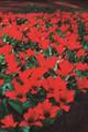Bulk Tulips - Princeps