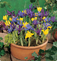 Reticulata Mixed Colours (Dwarf Iris)
