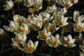Cream Beauty - Chryanthus Crocus