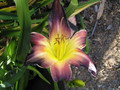 Royal Heiress - Daylily