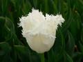 Bulk Tulips - Daytona