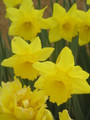 Greg's Favourite - Single Daffodil