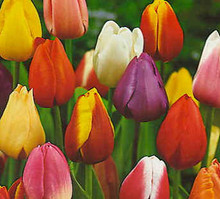 Tulips - Mixed colours