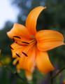 Pearl Jessica - Asiatic Lilium