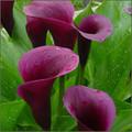 Purple Heart Calla Lilies - Zantedeschias