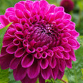 Barbarry Bonifide - Ball Dahlia